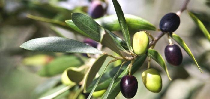 Zeytin Ağacı Nasıl Toprakta Yetişir Bilgi Fayda