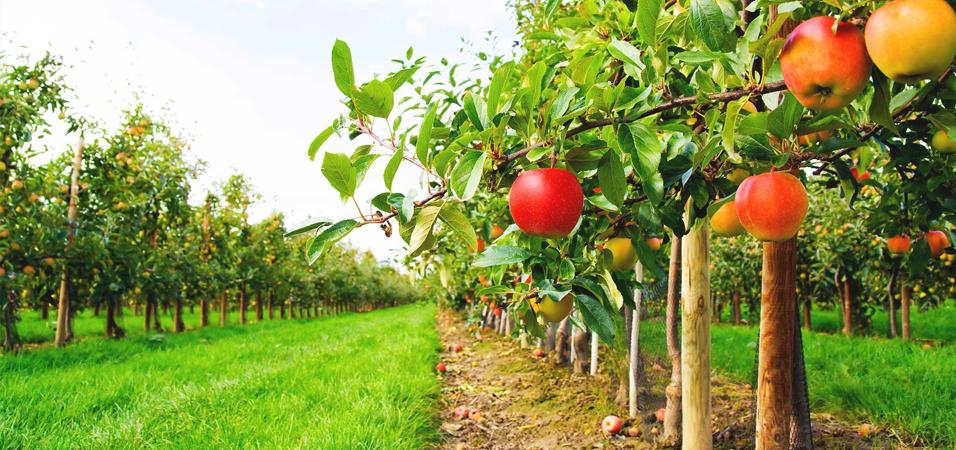 Elma En Çok Nerde Yetişir?